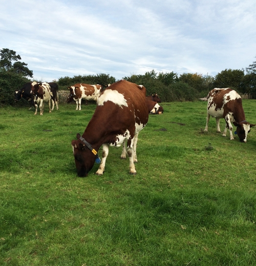Grass fed organically reared beef cattle - Duchy Farm
